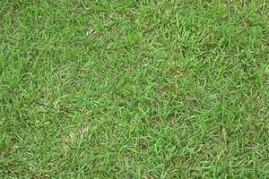 Grama Batatais Bahiagrass tipo importação 1 kg