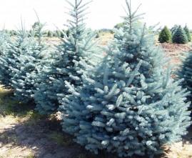 Pinheiro azul (Picea pugens) 30 sementes mais brinde