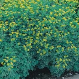 Arruda 3g (sementes)