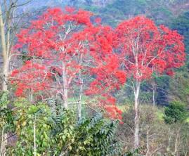 Mulungu (Erythrina velutina) 250g de sementes