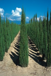 Cipreste Italiano var. Stricta (Cupressus sempervirens) - 0,47g - 50 a 60 sementes