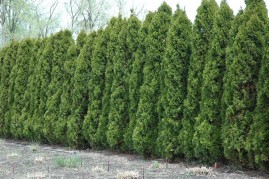 Cerca Viva de Cedro do Oregon 1 g aprox. 450 sementes beneficiadas