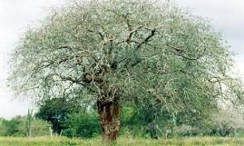 Amburana (Amburana cearensis) 250g sementes