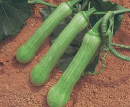 Abobrina Menina Brasileira 10 g aprox. 120 sementes